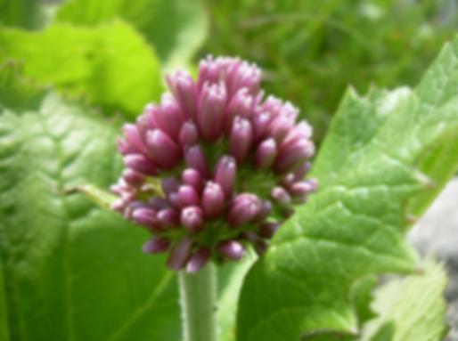 Adenostyles alpina (L.) Bluff & Fingerh. (Asteraceae)