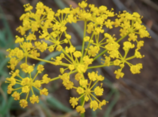 Elaeoselinum asclepium (L.) Bertol. (Apiaceae)