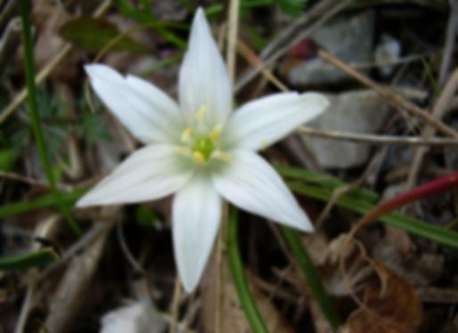 Ornithogalum exscapum Ten. (Asparagaceae)