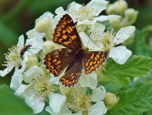 Hamearis lucina (Linnaeus, 1758)