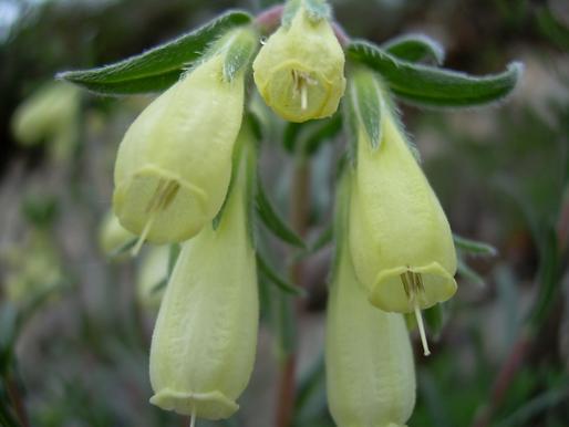 Onosma echioides L. [= O.canescens L. (Boraginaceae)]