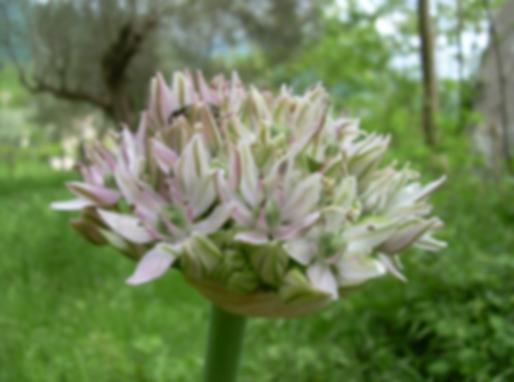 Allium nigrum L. (Amaryllidaceae)