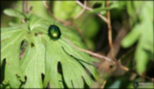 Chrysolina herbacea (Duftschmid, 1825)