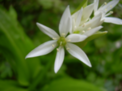 Allium ursinum L. ssp. ucrainicum Kleopow et Oxner (Amaryllidaceae)