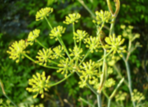 Foeniculum vulgare Mill. (Apiaceae)