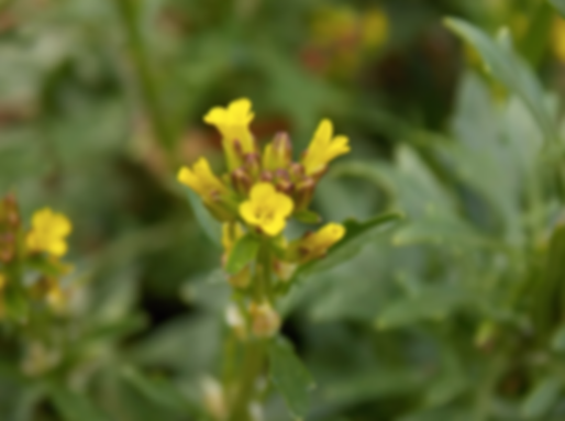 Barbarea bracteosa Guss. (Brassicaceae)