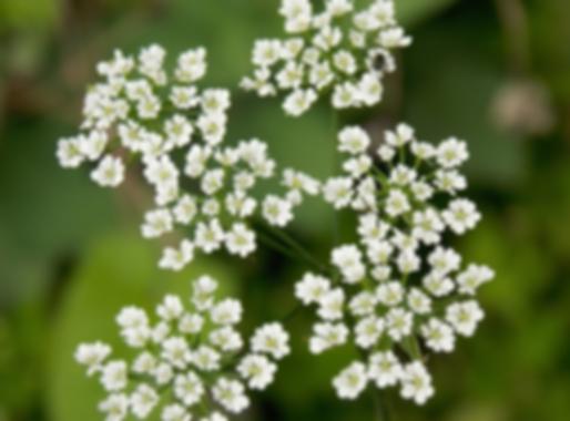 Chaerophyllum temulum L. (Apiaceae)