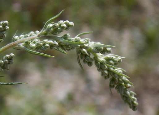 Artemisia vulgaris L. (Asteraceae)