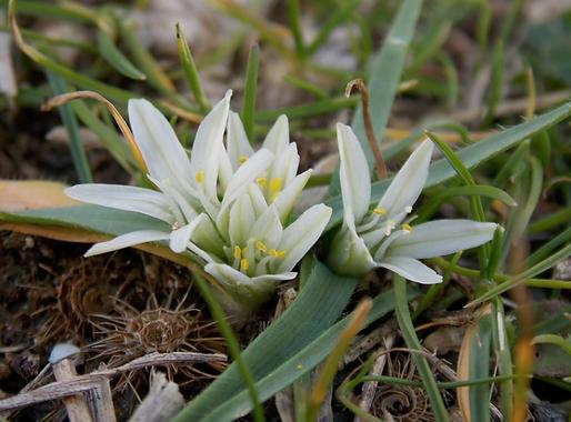 Allium chamaemolyL. (Amaryllidaceae)