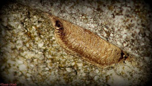 Mantis religiosa (Linnaeus, 1758)