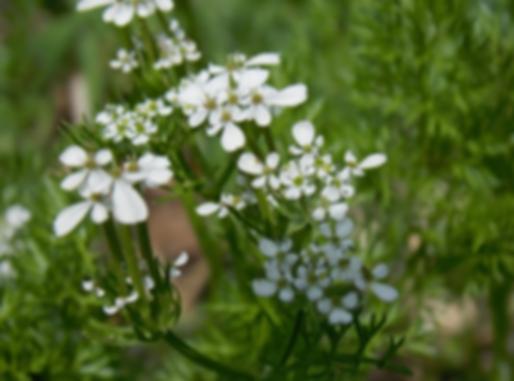 Scandix pecten-veneris L. (Apiaceae)