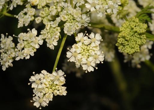 Conium maculatum L. (Apiaceae)