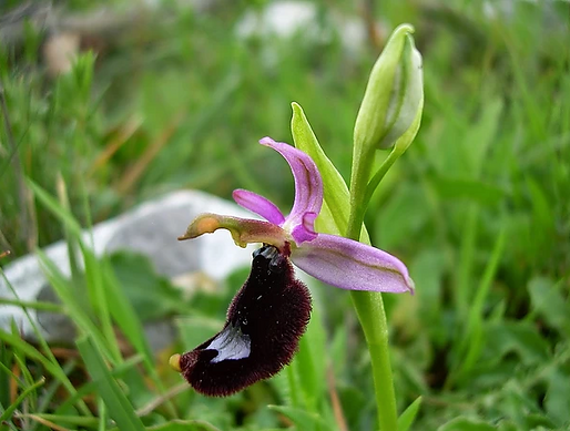 Ophrys bertolonii Moretti