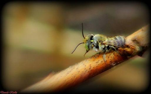 Megachile sp. (Latreille, 1802)