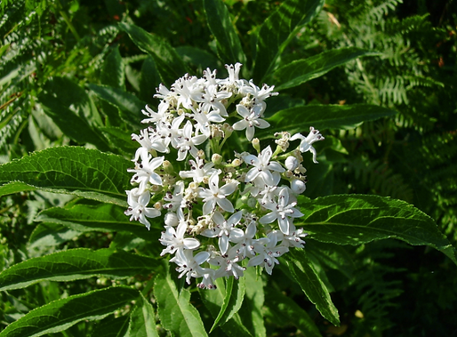 Sambucus ebulusL. (Caprifoliaceae)