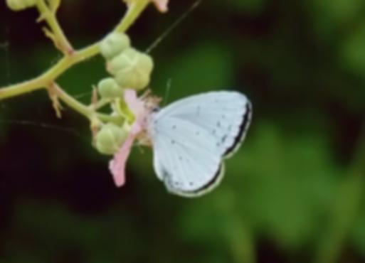 Celastrina argiolus (Linnaeus, 1758)