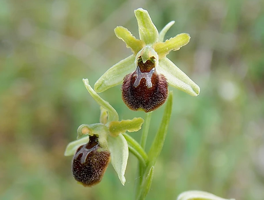 Ophrys minipassionis
