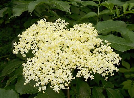 Sambucus nigraL. (Adoxaceae)