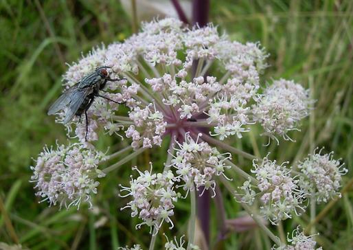 Angelica sylvestris L. (Apiaceae)