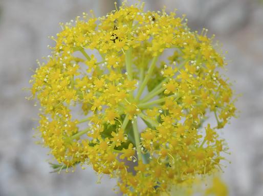 Ferula glauca L. (Apiaceae)