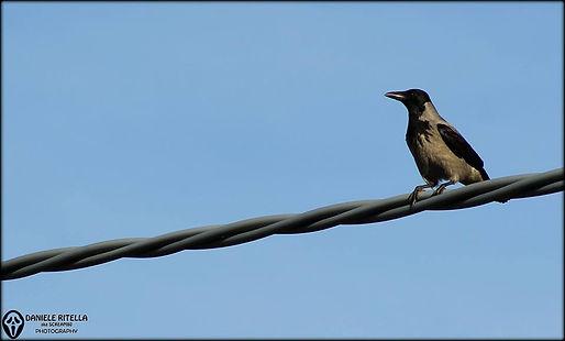 Corvus cornix - Linnaeus, 1758