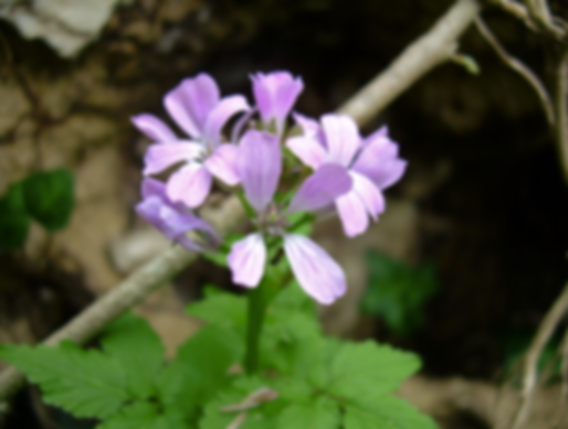 Cardamine chelidonia L. (Brassicaceae)