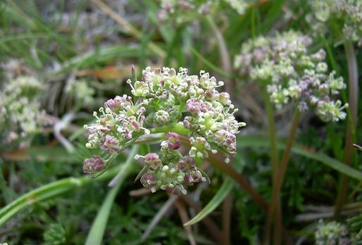 Trinia dalechampii (Ten.) Janchen (Apiaceae)
