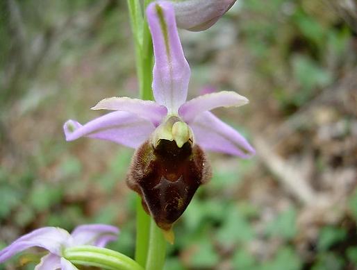 Ophrys argolica subsp. crabronifera (Sebast & Mauri) Faurh