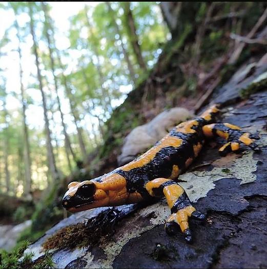 Salamandra salamandra (Linnaeus, 1758) subsp. gigliolii Eiselt & Lanza, 1956