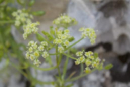 Carum heldreichii Boiss. (Apiaceae)