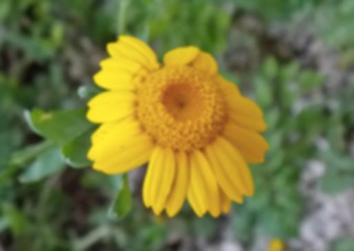 Glebionis segetum (L.) Fourr. (Asteraceae)