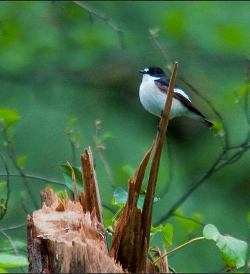 Cincia bigia (Poecile palustris)