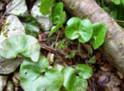 Asarum europaeum L. (Aristolochiaceae)