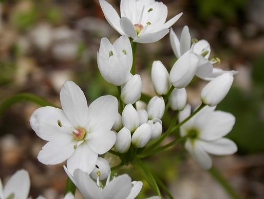 Allium neapolitanum Cirillo (Amaryllidaceae)