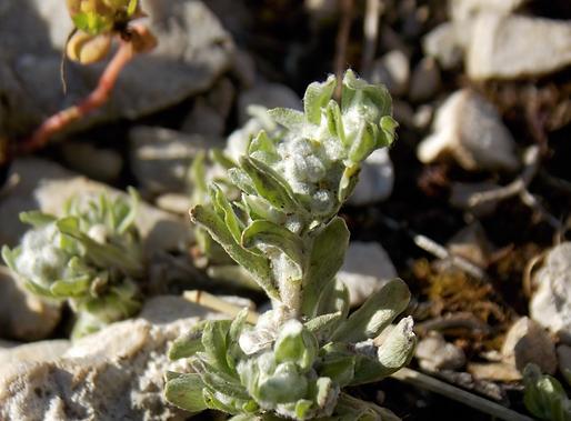 Bombycilaena erecta (L.) Smoljan. (Asteraceae)