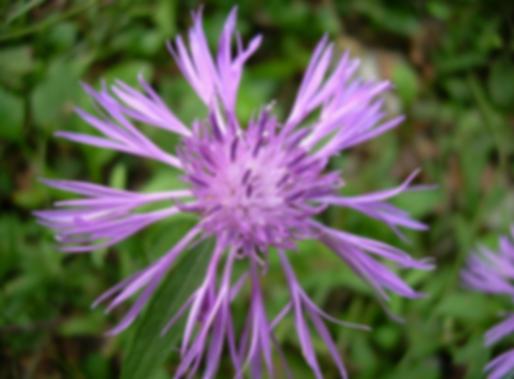 Centaurea nigrescens susp. neapolitana (Boiss.) Dostàl (Asteraceae)