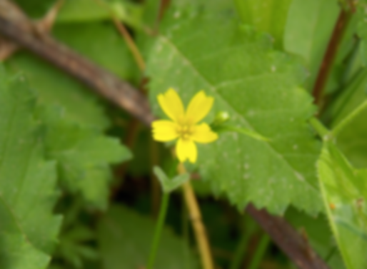Rhagadiolus edulis Gaertn. (Asteraceae)