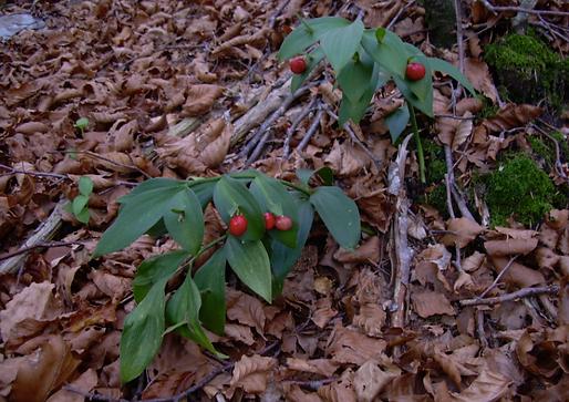Ruscus hypophyllum L. (= R. hypoglossum L.) (Asparagaceae)