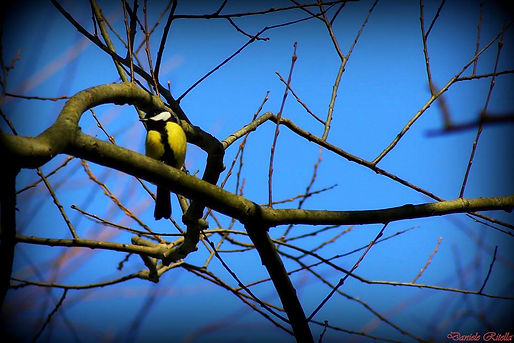 Parus major (Linnaeus, 1758)