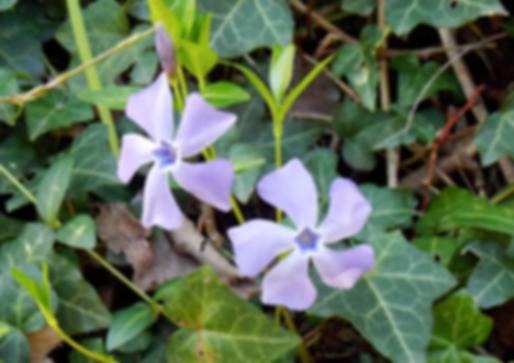 Vinca minor L. (Apocynaceae)