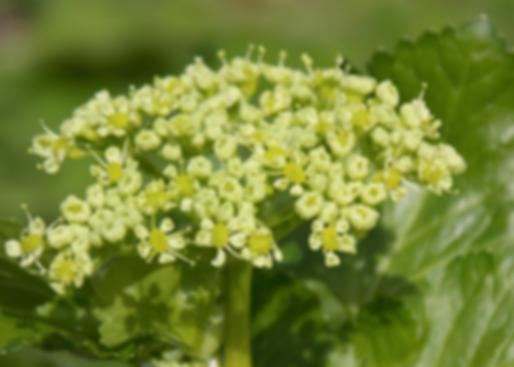 Smyrnium olusatrum L. (Apiaceae)