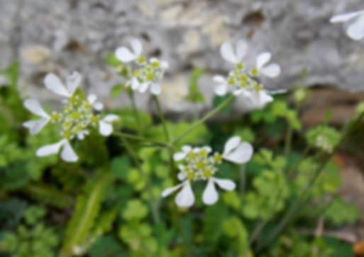 Tordylium apulum L. (Apiaceae)