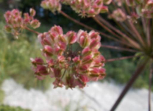 Laserpitium latifolium L. (Apiaceae)