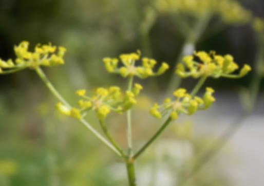 Pastinaca sativa subsp. urens (Godr.) Celak. (Apiaceae)