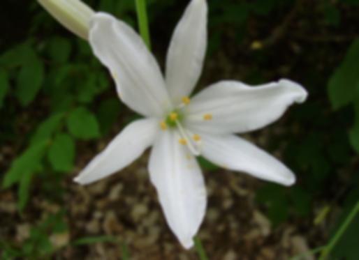 Anthericum liliago L. (Asparagaceae)