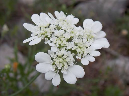 Orlaya grandiflora (L.) Hoffm. (Apiaceae)