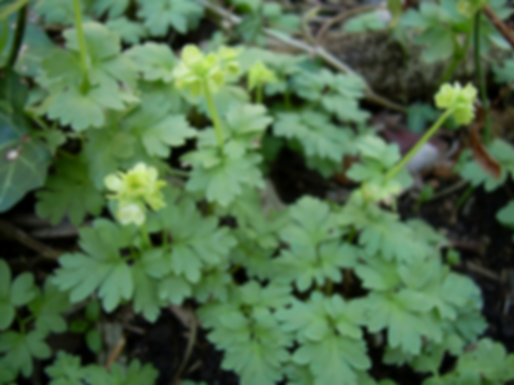 Adoxa moschatellinaL. (Adoxaceae)