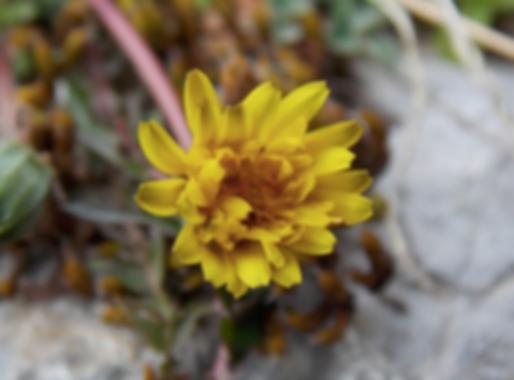 Taraxacum laevigatum (Willd.) DC. (Asteraceae)