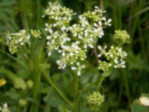 Cardaria draba (L.) Desv. (= Lepidium draba L.)