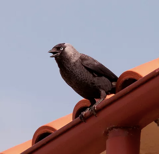 Taccola (Corvus monedula)